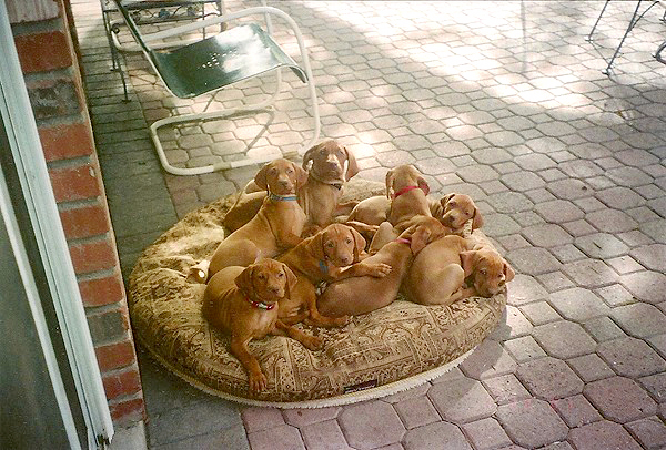 Mehagian puppies on pillow
