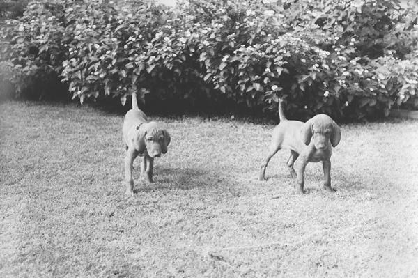 Mehagian field pups
